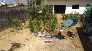 Photo of ❝Sítio da Maconha❞: Polícia apreende 49 plantas de Maconha e prende casal por tráfico de drogas em Vilhena
