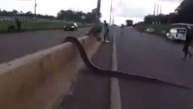 Photo of Na capital, cobra Sucuri de aproximadamente cinco metros é filmada atravessando a BR-364