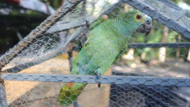 Photo of Papagaio que 'avisou' da chegada de policiais em ponto de tráfico é transferido para o Zoobotânico