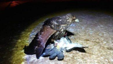 Photo of Vilhena: gaviões treinados por biólogo ajudam a acabar com infestação de pombos em escolas