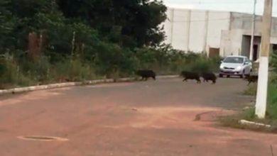 Photo of Moradores flagram porcos do mato saindo do residencial Cidade Verde I e entrando em área florestal de Vilhena