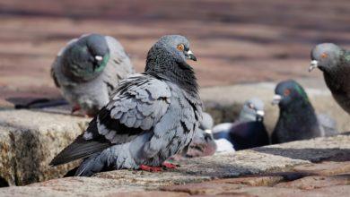 Photo of MP abre inquérito para fiscalizar medidas que evitem a proliferação de pombos em Vilhena