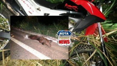 Foto de Capivara atravessa rodovia e provoca acidente entre duas motocicletas na BR-435 em Colorado do Oeste