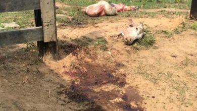 Photo of Vaca é abatida e carneada durante furto em propriedade rural de Colorado do Oeste