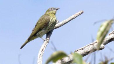 Photo of Conheça a ave brasileira que tem o canto mais alto de um animal já registrado
