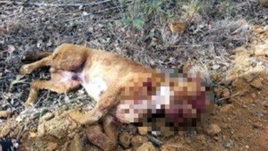 Photo of Morador vilhenense atira e mata pitbull que invadiu seu quintal e atacou cachorro e crianças