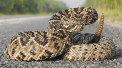 Foto de Mais de 60% dos ataques de animais peçonhentos em RO foram provocados por cobras