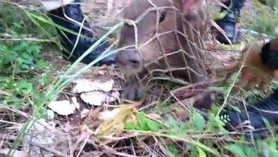 Photo of Mais uma capivara é capturada pelo Corpo de Bombeiros em Vilhena