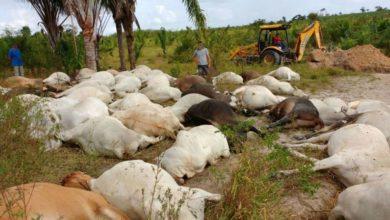 Photo of Mais de 70 cabeça de gado morrem eletrocutados em estação de captação de água