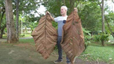 Photo of Árvore com folhas de 2,5 metros é encontrada em Rondônia