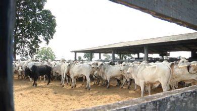 Photo of Arroba do boi gordo fecha janeiro custando R$ 157,44 em Rondônia