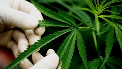 Foto de Fabricação e venda de produtos derivados da Cannabis Sativa entram em vigor