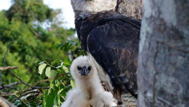Photo of Imagem de harpia e filhote é capturada por fotógrafo em Rolim de Moura (Veja a foto)