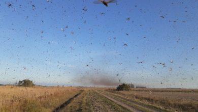Foto de Nuvem de gafanhotos próxima à Fronteira Oeste do RS deve seguir para o Uruguai, diz Mapa