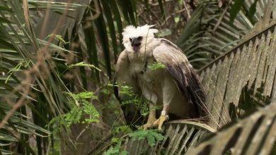 Foto de Harpia achada por motorista é devolvida à natureza
